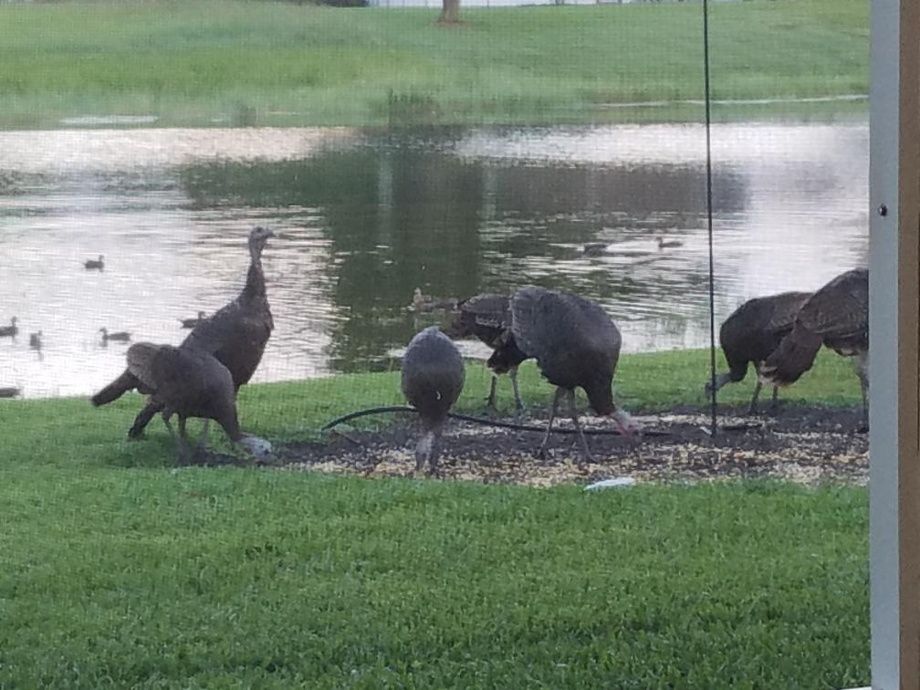 Turkeys backyard 9-7-18.jpg